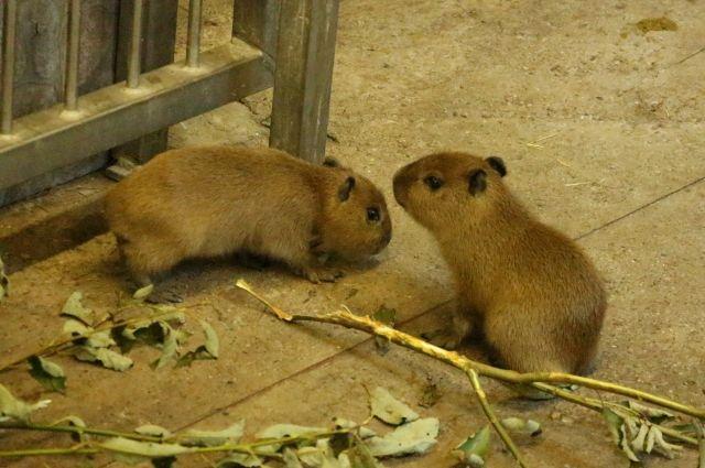 В Калининградском зоопарке родилось первое потомство у семейства капибар.
