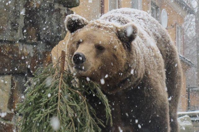Медведи все чаще выходят к людям.