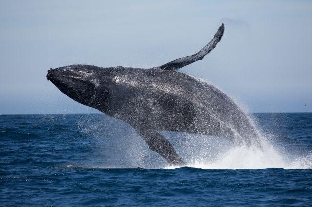 Защитники природы спасли выбросившегося наберег Сахалина шеститонного кита