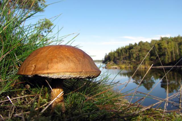 В лесах региона стало теряться все больше грибников.