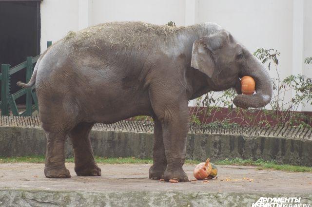 В зимнем павильоне для слонихи Преголи впервые за 40 лет сделали ремонт.