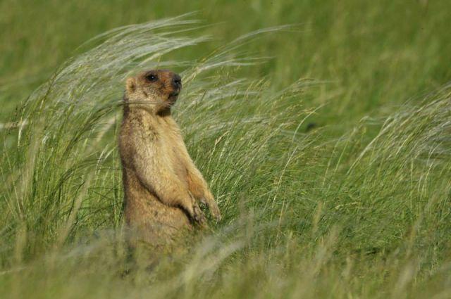 Сурок - самое распространенное животное в оренбургских степях.