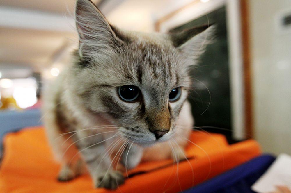 По информации организаторов, кошки живут у каждой четвертой семьи новосибирцев.