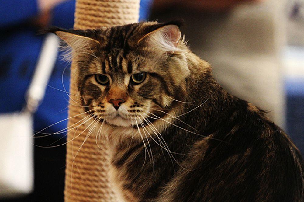Кошек без длинных родословных новосибирцы тоже не обходили вниманием.