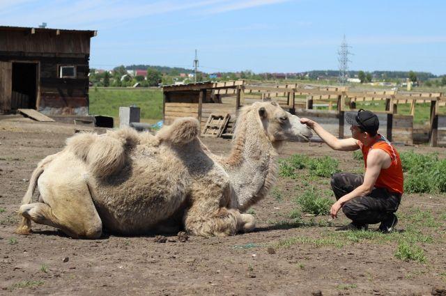 У микрорайона Солнечный живёт необычный красноярец - верблюд Вася.