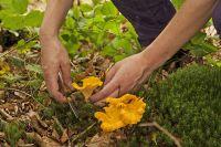 Увлекшись сбором грибов, некоторые далеко уходят от знакомой местности.