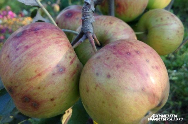 Калининградские аграрии закупят в Республики Беларусь саженцы для индустриальных садов