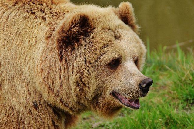 Осенью бурый медведь активно накапливает жировые запасы.