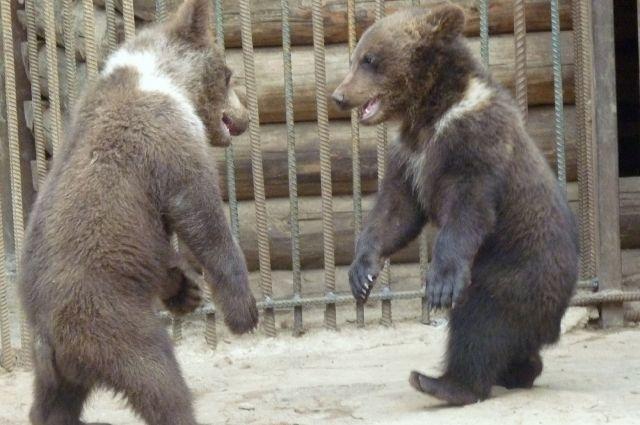 Влесопарке Зеленограда обнаружили 2-х медвежат