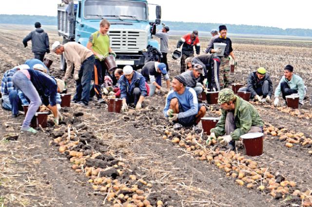 На Ставрополье собирают урожая картофеля.