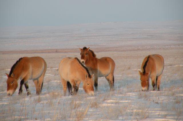Взаповеднике «Оренбургский» Владимир Путин выпустил дикую лошадь вестественную среду