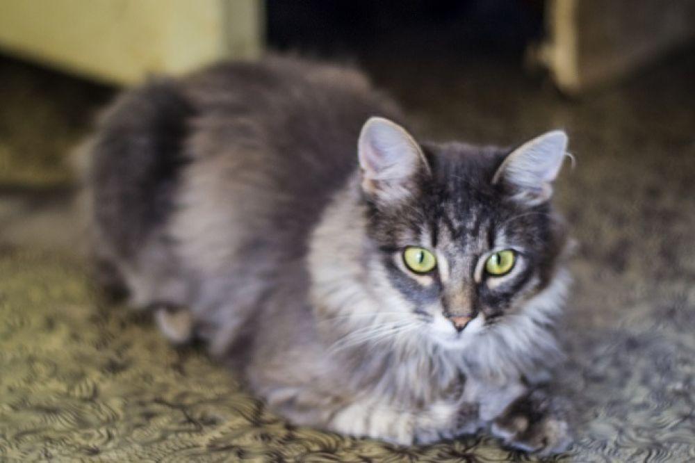Сэмик . Полтора года, к лотку приучен, очень контактный и ласковый. Пушистый кот, помесь с сибирской породой.