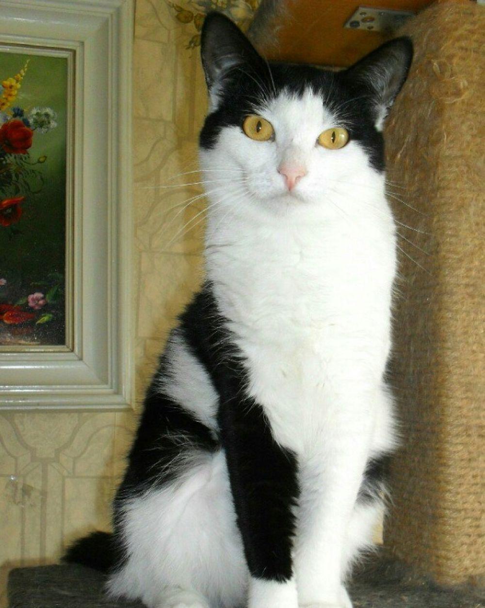Шапочка. Полтора года, лоток знает отлично, прекрасно ладит с другими кошками.