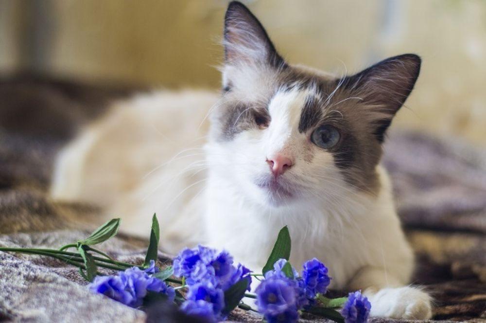 Тимофей. Еще один особенный кот. 6 лет, аккуратный и чистоплотный, лоток знает отлично. Флегматичный любитель тихих домашних вечеров ищет хозяина с похожим характером.