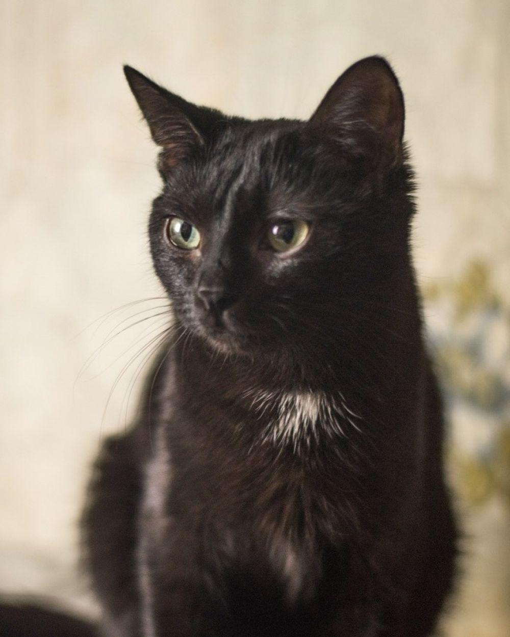 Багирка. Один год, лоток знает хорошо, неконфликтная гладкошерстная кошка.