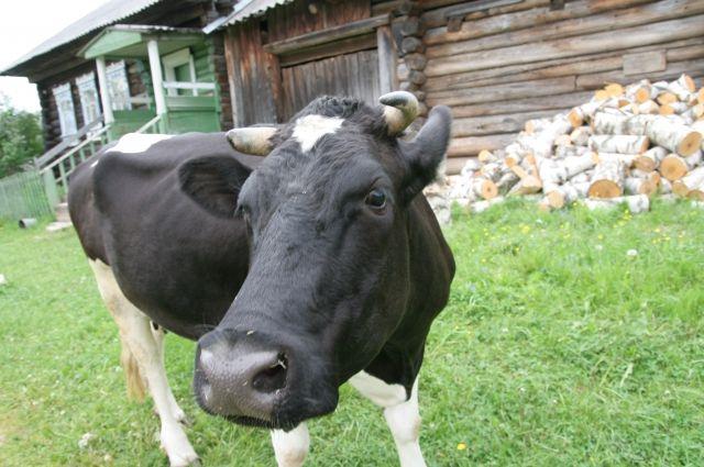 Сбитая Опель корова ушибла 60-летнюю пастушку под Волгоградом