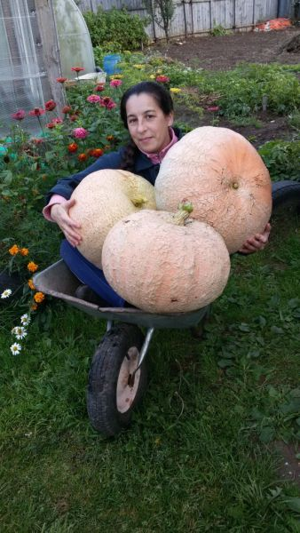 На своем огороде, что находится в поселке Январский Орджоникидзевского района, мы, как и все любители-огородники, выращиваем разные культуры. Но больше всего любим красавицу-тыкву. Ее мы парим, варим, добавляем в фарш, пироги, готовим солнечное варенье.