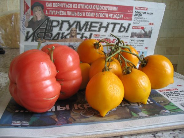 В нашей «стране вечнозеленых помидор» способны вырасти весьма оригинальные экземпляры. Вот и в этом году в маленькой тепличке желтые томаты, чтобы не скучать, поспели целой компанией. А красные вообще решили не разлучаться.