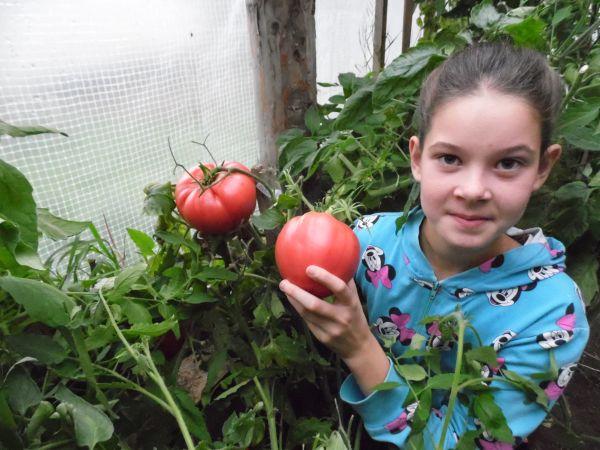 Наше уральское лето было жарким и наградило нас небывалым урожаем. В обычной теплице выросли помидоры-гиганты. Сорт томатов «Сибирский» мы посадили впервые, и они нас не подвели. Одна помидорка вести почти 800 гр. А сразу из трех можно приготовить салат.