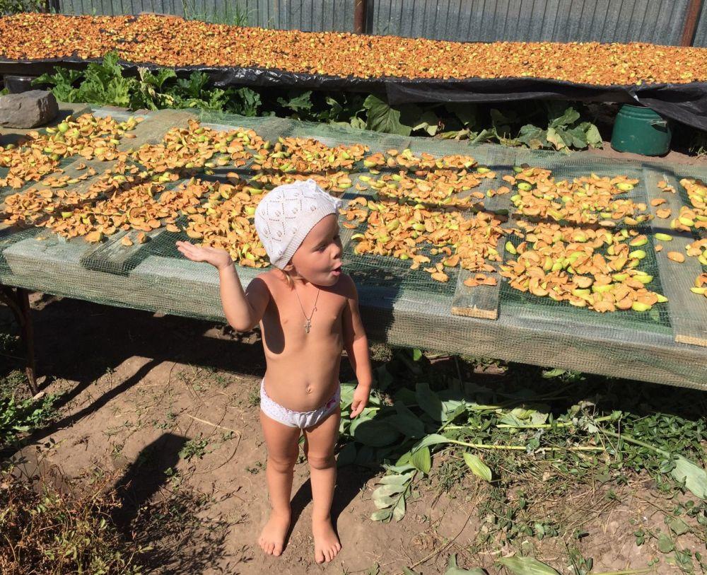 Рекордный урожай яблок собрали на даче семьи Шиловых недалеко от г.Оса Пермского края.