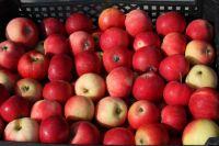 600 кг яблок собрал садовод в этом году.