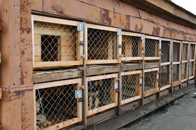 Жителям Салехарда заплатят 500 руб. закаждую пойманную бездомную собаку