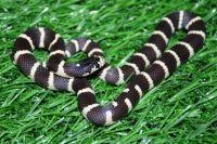 Самый симпатичный змеёныш по итогам голосования - малыш калифорнийской королевской змеи