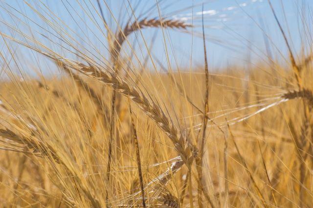 Благодаря Китаю экспорт омского зерна вырос практически в 4 раза