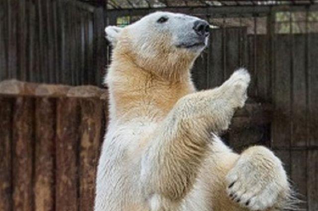 ВЛенинградском зоопарке скончался  белый медведь Меньшиков