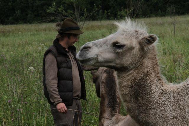 Вдонском природном заказнике поселили верблюдов