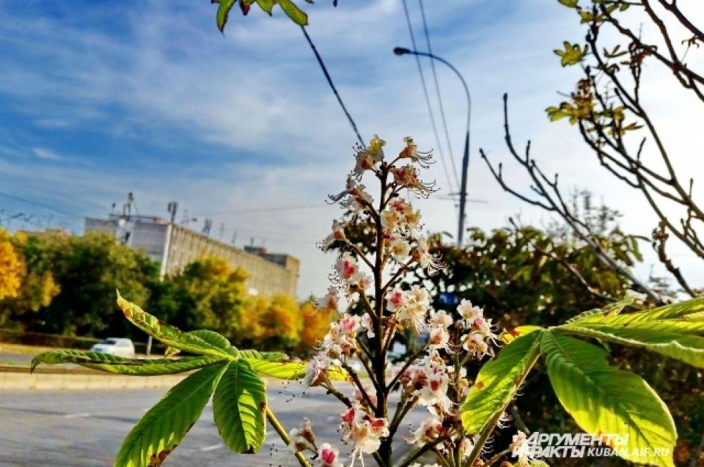 Эта осень преподнесла краснодарцам особый подарок - в сентябре зацвели каштаны.