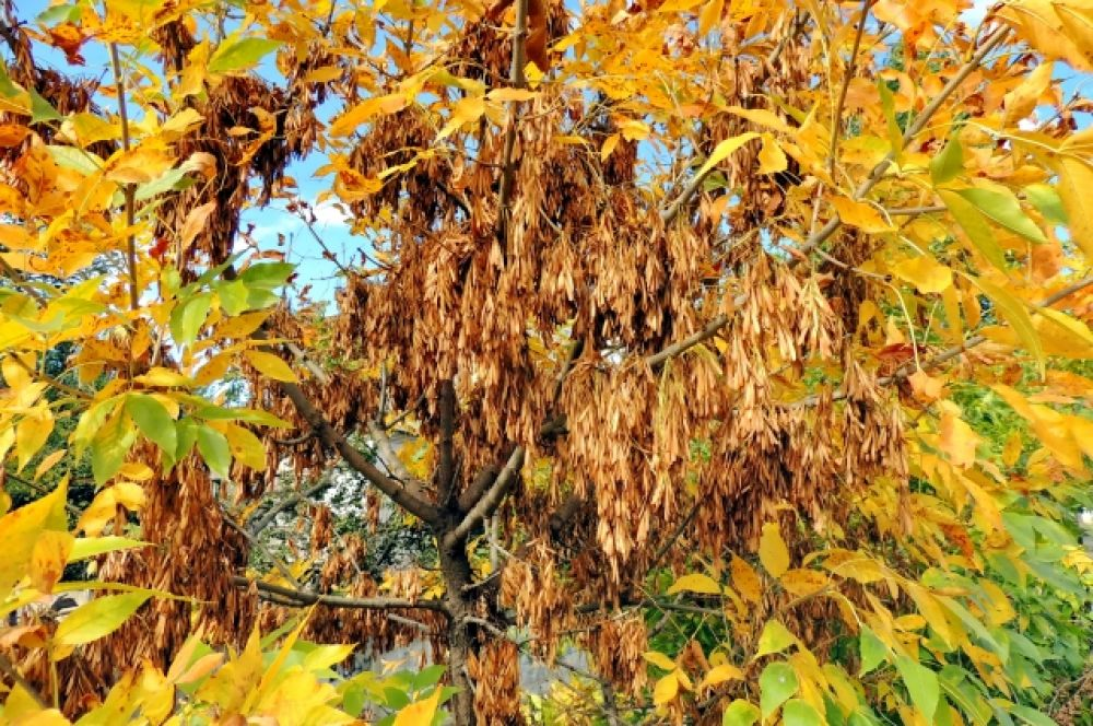 В этом году на деревьях богатый урожай «сережек».