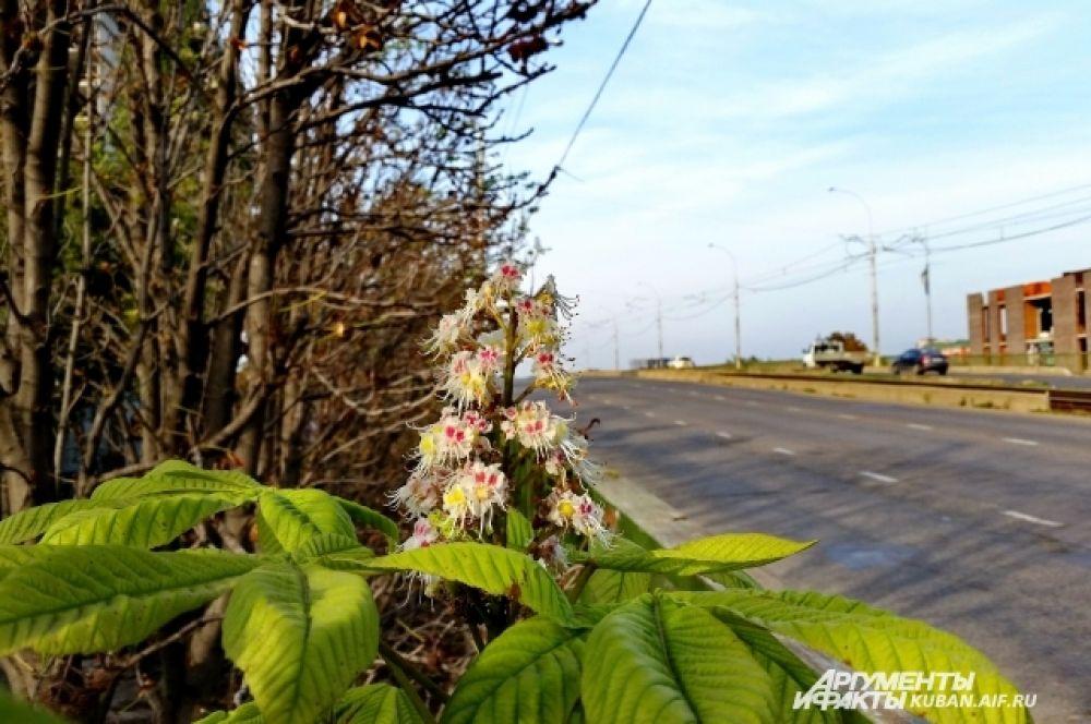 В Горячем Ключе каштаны расцвели в середине сентября, а в Краснодаре - к октябрю.