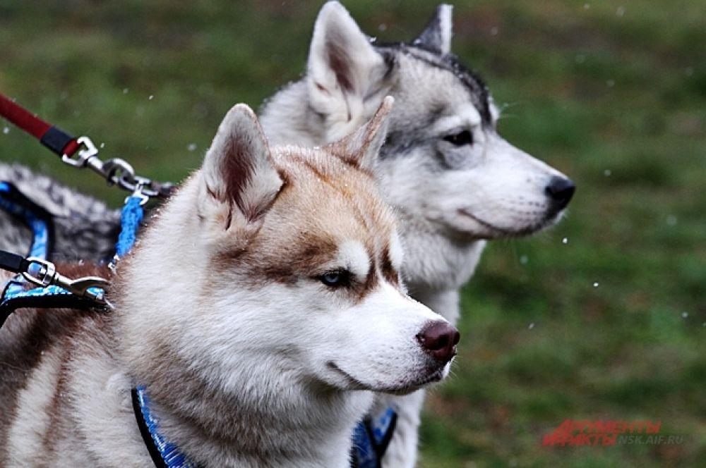 Собаки перед соревнованиями сосредоточены.
