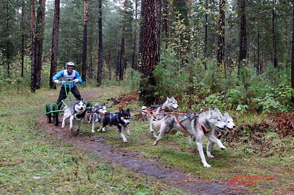 Удержать карт от падения не просто. Но гораздо сложнее выдержать высокий темп собак. В одной из категорий соревнований некоторые спортсмены бежали вместе рядом с собаками.
