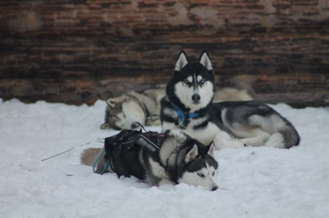 В хозяйстве у руководителя клуба ездового спорта 15 собак.