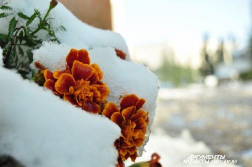 Первый снег в Омске накрыл осенние цветы и еще желтую листву.