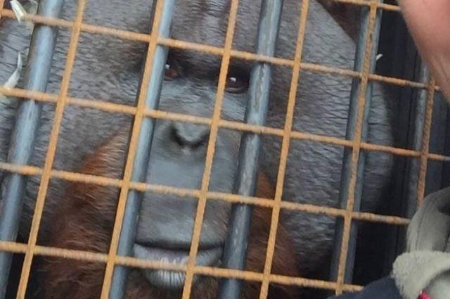 Орангутан Бенджамин для зоопарка Калининграда застрял на границе с Польшей.