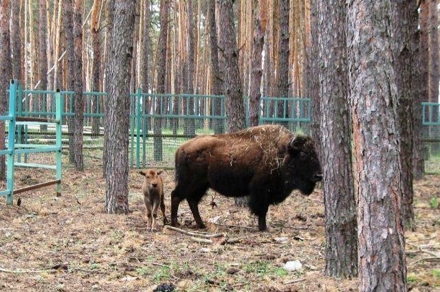 Вворонежском зоопитомнике упары бизонов родился ребенок