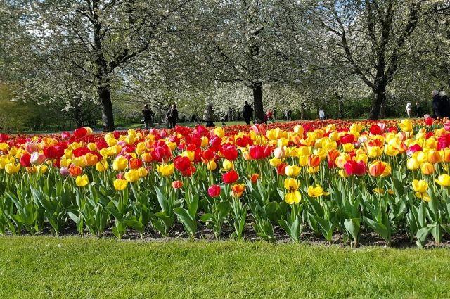 Тюльпаны появятся на клумбах города ранней весной.