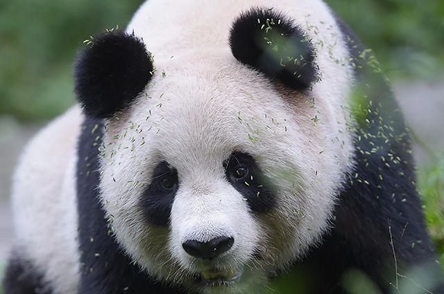 Самая старая панда вмире скончалась  ввозрасте 38 лет