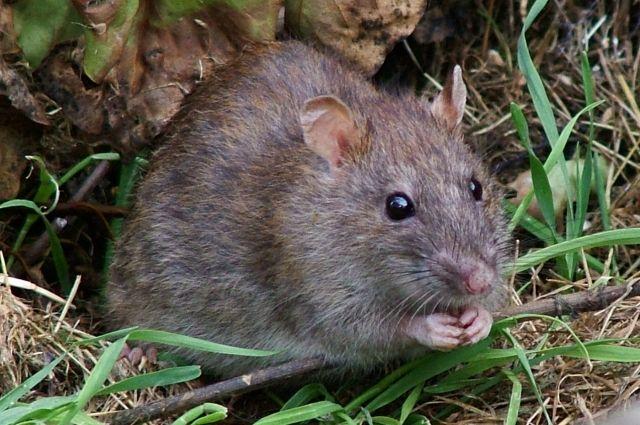 Волгоградцы: поулицам города разгуливают самые большие крысы