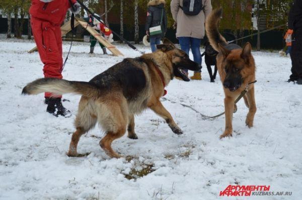 Но большинство псов весело резвились друг с другом, в шутку кусая соседа за хвост или за уши, и совсем не замечали серьёзного настроя на победу их людей.