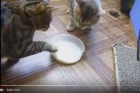 Коты по очереди лапой двигали миску к себе.