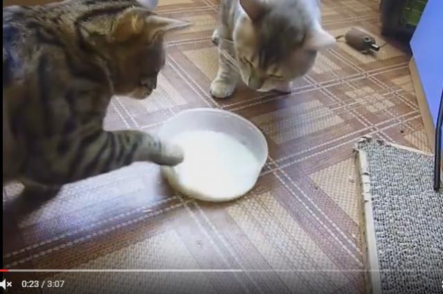 Вежливые коты немогут поделить одной надвоих тарелки молока