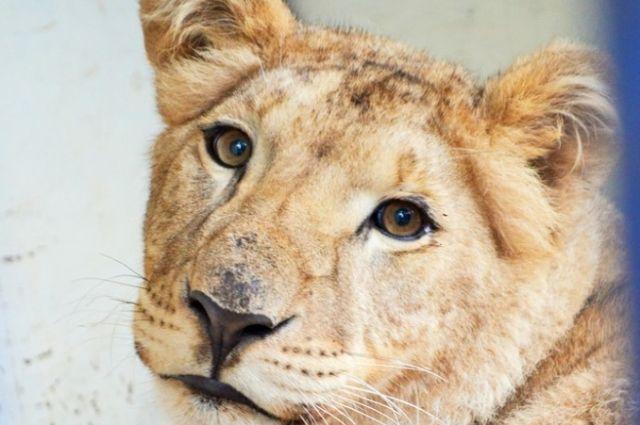 Львица Лола.
