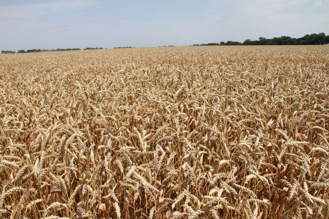 Омская пшеница - одна из лучших в стране.