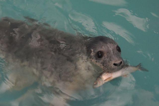 Вволгоградский океанариум привезут 2-х тюленят сСахалина