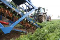 Уборка проводится механизировано – специальным морковоуборочным комбайном.