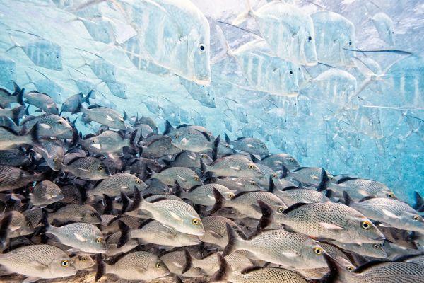 И еще один фотограф, который тоже стал финалистом в жанре фотографий с рептилиями, амфибиями и рыбами стал Iago Leonardo. Фото сделано в водной акватории Мексики
